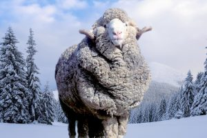 Merino Sheep in Winter