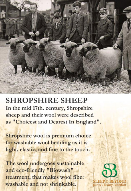 Shropshire Sheep